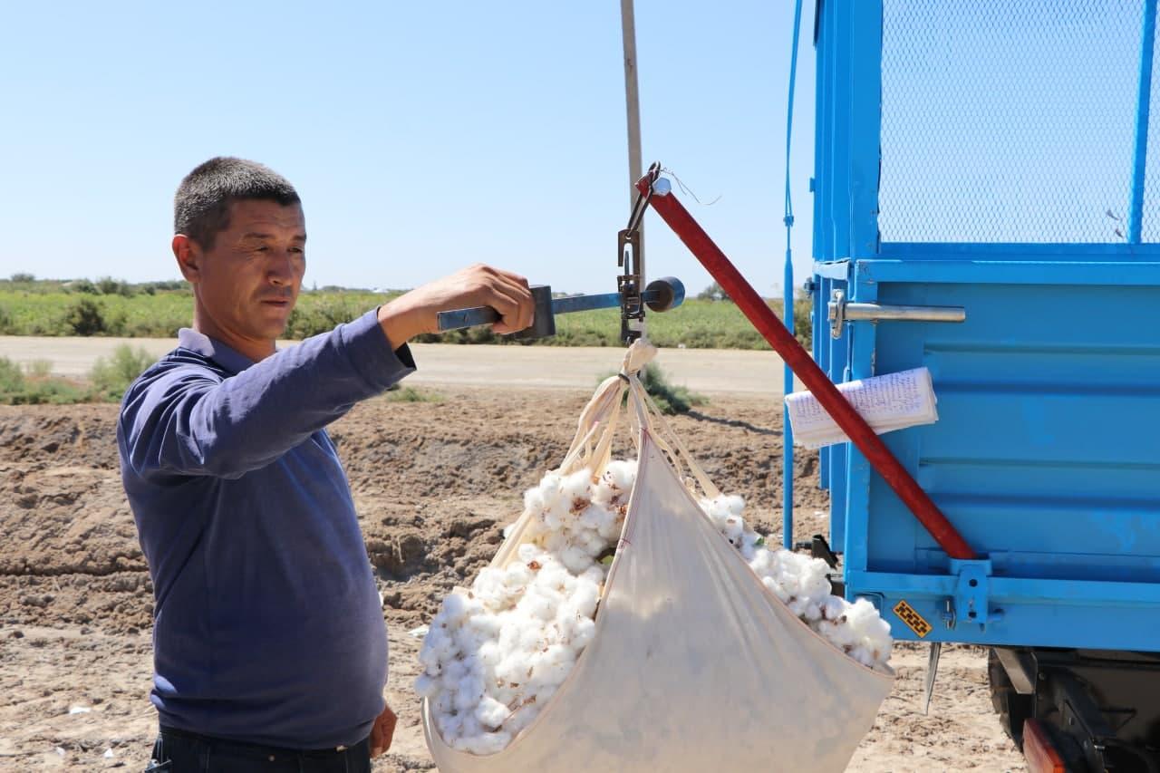 Шымбай районында пахта жыйым-теримде 25 тен аслам фермер хожалықлар мәмлекетлик шәртнаманы толық орынлады
